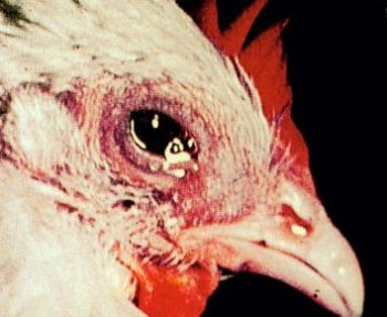Chronic Respiratory Disease (CRD) in Poultry